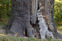 Massive stem of venerable tree is photographed from below against the blue sky. Maksym Zaliznyak's oak is the most famous Ukrainia Royalty Free Stock Photo