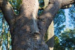 Massive stem of venerable tree is photographed from below against the blue sky. Maksym Zaliznyak's oak is the most famous Ukrainia Stock Images