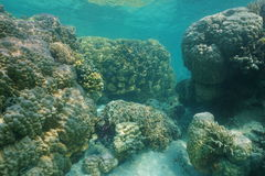 Massive stony corals underwater Pacific ocean. Massive stony corals underwater in the lagoon of Grande-Terre island, south Pacific ocean, New Caledonia, Oceania Stock Images