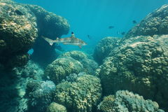 Massive stony corals underwater with a shark Stock Image