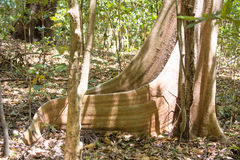 Massive tabular primary rainforest tree roots, Tangkoko National Park, Sulawesi, Indonesia Stock Images
