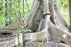 Massive tabular primary rainforest tree roots, Tangkoko National Park, Sulawesi, Indonesia Royalty Free Stock Photography
