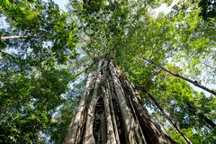 Massive tree is buttressed by roots Tangkoko Park Royalty Free Stock Photography