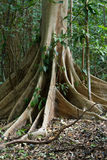 Massive tree is buttressed by roots Tangkoko Park Royalty Free Stock Image