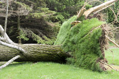 Massive tree downed by a tornado Stock Images