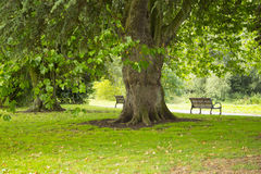 Massive tree. This massive tree must be a couple of hundred years old Royalty Free Stock Image