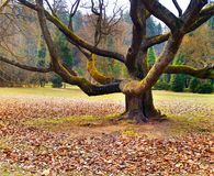 Massive tree in the park Royalty Free Stock Image