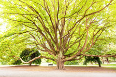Massive tree in a park. On sunny day stock images