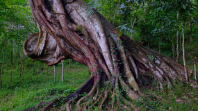 Massive tree. A massive tree in the Periyar national park, India royalty free stock image
