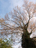 A massive tree point of view bottom taken outside in spring grow Royalty Free Stock Images