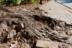 Massive Tree Root Pushes Through Solid Brick Sidewalk Stock Image