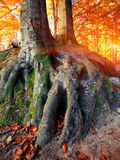 Massive tree roots in autumnal forest Stock Images