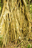 Massive trees, Amber Mountain National Park, Madagascar Stock Photography