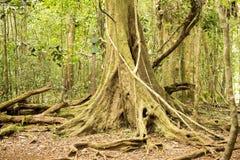 Massive trees, Amber Mountain National Park, Madagascar Stock Photo