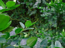 The massive and vital Buxus. Fresh green buxus Buxus sempervirens Stock Images