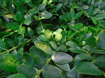 The massive and vital Buxus. Fresh green buxus Buxus sempervirens Royalty Free Stock Photos