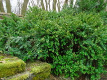 The massive and vital Buxus. Fresh green buxus Buxus sempervirens Stock Photo