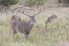 Massive whitetail buck with extra wide spread Stock Photos