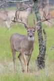 Massive Whitetail Buck in fall Royalty Free Stock Images