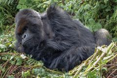 Massive wild silverback mountain gorilla resting in his nest - Volcanoes National Park Rwanda royalty free stock photo