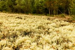 Lichen and leaves. Massive yellow lichen with leaves on the ground Royalty Free Stock Image