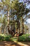 Massivt bläckfiskträd, udde Meares, Oregon, USA arkivbilder