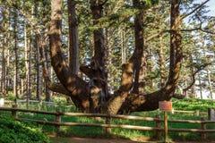 Massivt bläckfiskträd, udde Meares, Oregon, USA royaltyfri fotografi