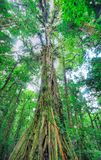 Massivt djungelträd, Costa Rica fotografering för bildbyråer