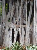 Massivt forntida banyanträd med komplexa sammanfogade stammar och filialer i en djungelmiljö arkivbilder
