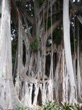 Massivt forntida banyanträd med komplexa sammanfogade stammar och filialer i en djungelmiljö fotografering för bildbyråer