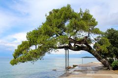 Massivt gammalt träd som lutar över den traditionella stentegelplattatrottoaren bredvid havet som stöttas med metallramen som omg royaltyfri bild