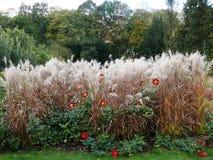 Massivt gräs och röd dahlia fotografering för bildbyråer