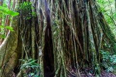 Massivt träd i en djungel av Pana royaltyfria foton