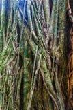 Massivt träd i en djungel av Pana royaltyfri foto