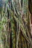 Massivt träd i en djungel av Pana arkivfoton