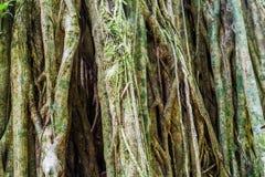 Massivt träd i en djungel av Pana arkivfoto
