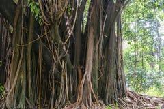 Massivt tropiskt rainforestträd i Brasilien arkivfoton
