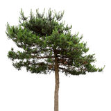 A masson pine Royalty Free Stock Image