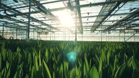 Massor av att växa för tulpanblommor i en special burk lager videofilmer