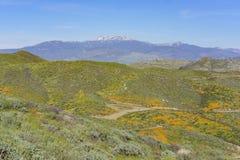 Massor av blomning för lös blomma på Diamond Valley Lake arkivbild