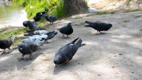 Massor av duvor i det offentligt parkerar Flock av fåglar som äter bröd lager videofilmer