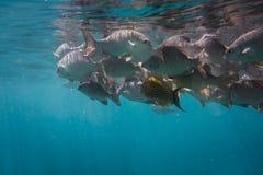 Massor av fisk Royaltyfri Bild