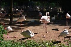 Massor av flamingo arkivbilder