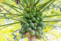 Massor av frukter på PapayaPawpawträd Arkivfoton