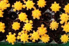 Massor av gul kaktus i krukor Royaltyfria Bilder