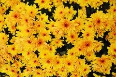 Massor av gula blommor blommar, kronblad, naturlig bakgrund, trädgårds- skönhet Arkivbilder