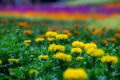 Massor av härlig ringblomma blommar i trädgården arkivbilder