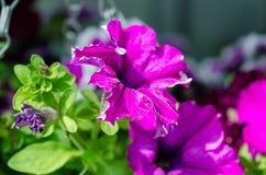 Massor av ljusa rosa purpurfärgade blommor i grön buske royaltyfri foto