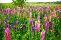 Massor av lupine som blommar i ett fält i bygden Lösa härliga blommor, sommartid Arkivfoto