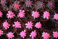 Massor av rosa kaktus i krukor Royaltyfri Foto